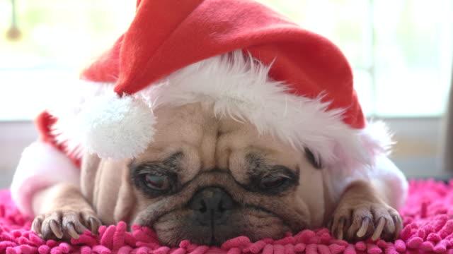 クリスマス帽子でかわいい横たわっている子犬のクローズアップ顔。休日の怠惰な時間に眠っているxmasの衣装を着てパグ。 - サンタの帽子点の映像素材/bロール