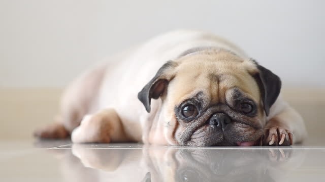 Close-up face of Cute pug puppy dog sleeping rest open eye by chin and tongue lay down on laminate floor Close-up face of Cute pug puppy dog sleeping rest open eye by chin and tongue lay down on laminate floor purebred dog stock videos & royalty-free footage