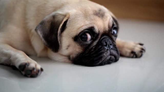 Close-up face of Cute pug puppy dog sleeping