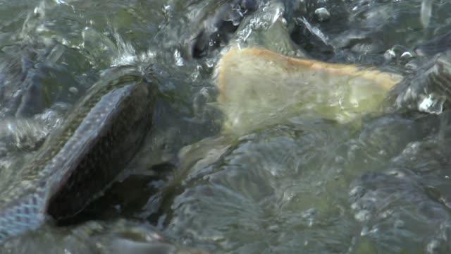 stockvideo's en b-roll-footage met 4k close-up het voeden van de karper in de vijver in taiwan - carp