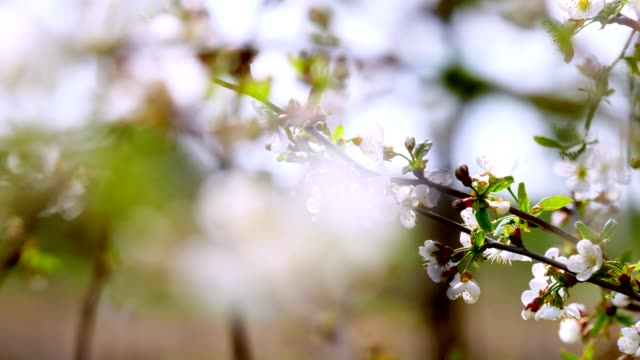 close-up, flowering branches of apple trees, cherries move, sway in the wind, in the spring garden, on a sunny day