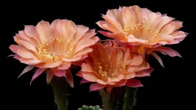 närbild blommor timelapse-echinopsis rose färg - vild blomma bildbanksvideor och videomaterial från bakom kulisserna