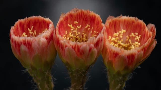 Close-Up Flowers Timelapse - Lobivia Cactus Beautiful Orange Color
