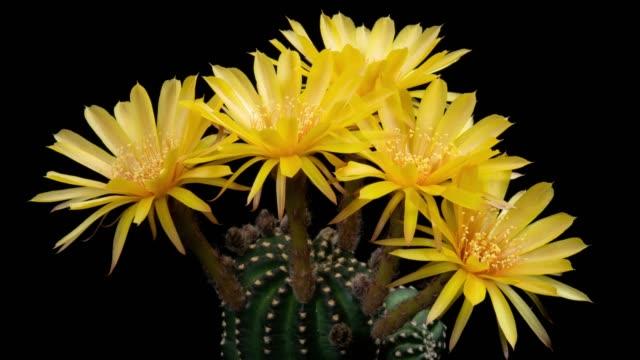 timelapse dei fiori ravvicinati - lobivia cactus colore giallo - capolino video stock e b–roll
