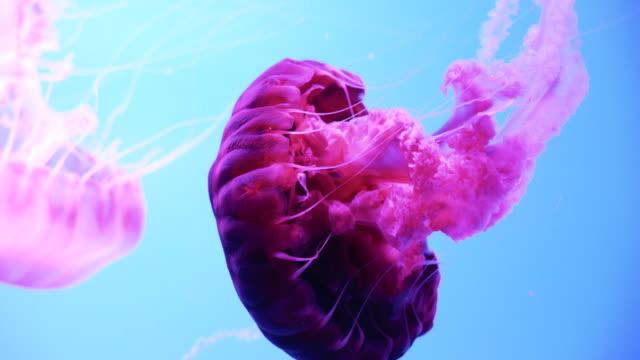 青い背景に泳ぐクローズアップ蛍光ピンククラゲ - ピンク色点の映像素材/bロール
