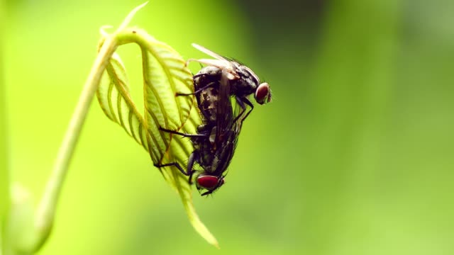 close-up fly mating on green leaf. - arto di animale arto video stock e b–roll