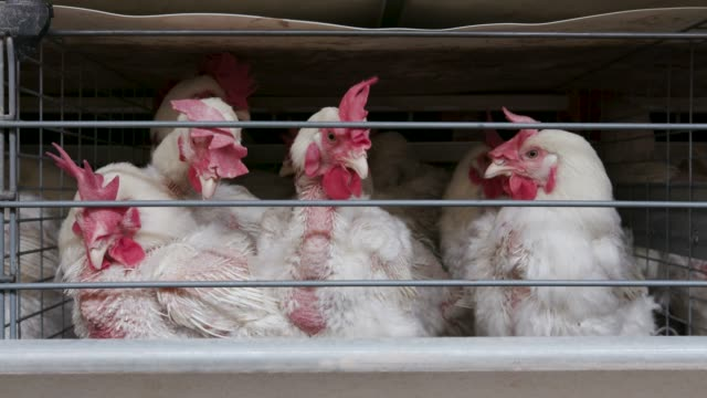 vídeos de stock, filmes e b-roll de opinião dianteira do close-up 4k de galinhas apertadas em uma exploração agrícola da produção do ovo da grande escala - ave doméstica
