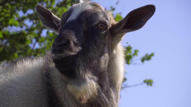 närbestråget öppnar mun och skriker get mook, boskap - djurhuvud bildbanksvideor och videomaterial från bakom kulisserna