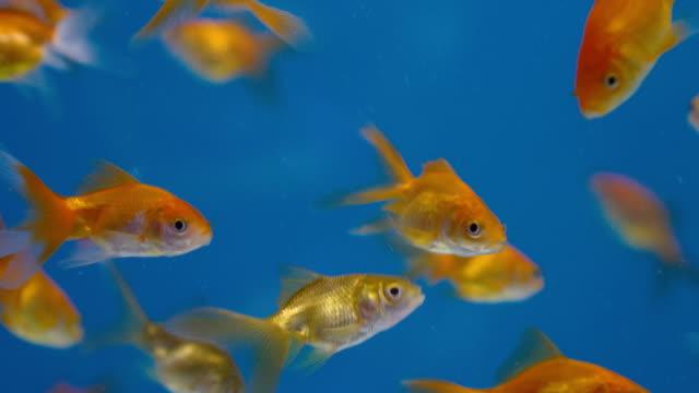 yakın çekim japon balıkları - i̇htiyoloji stok videoları ve detay görüntü çekimi