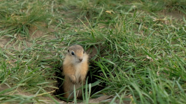Close-up gopher crawls out of his hole.