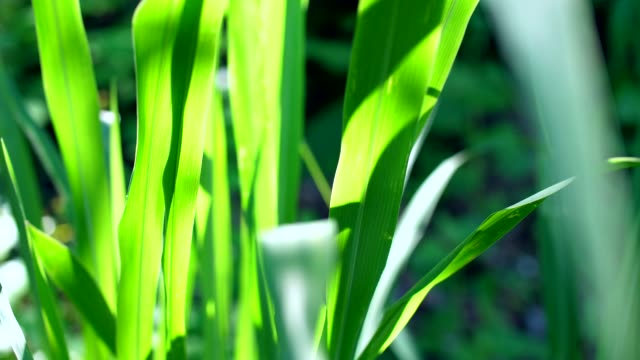 Close-up Grass Leaves with Morning Sunlight video