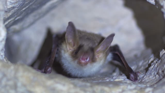 Closeup Greater mouse-eared bat Myotis myotis slowly moving after hibernation. Close up strange animal Greater mouse-eared bat Myotis myotis hanging upside down in the hole of the cave and slowly moving just after hibernation. Wildlife take. count dracula stock videos & royalty-free footage