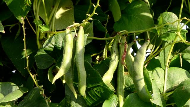 closeup green bean pod string leaves move wind garden video