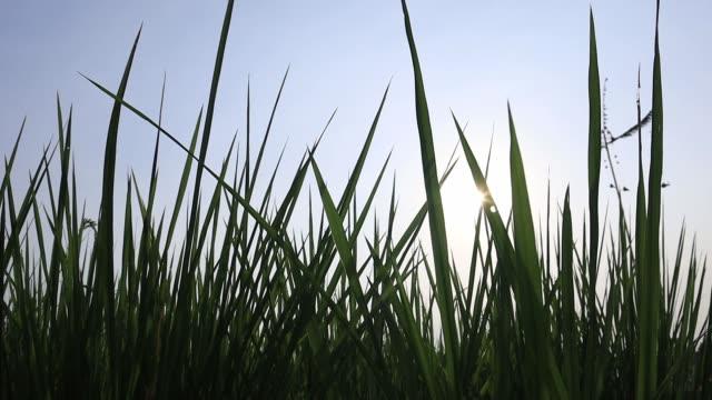 nahaufnahme grüne reisfeld im wind mit sonnenuntergang schwanken. silhouette junge reis schaukeln durch den wind. zeitlupe. - strohhut stock-videos und b-roll-filmmaterial