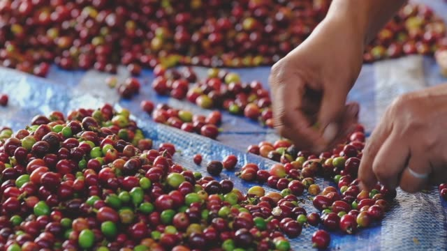 close-up hand choosing arabica coffee cherries by manual process - coffee farmer video stock e b–roll