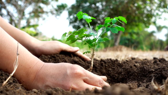 Close-up hand of asian female prepare and planting sapling in the land. Ecology concept video