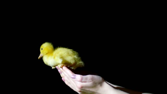 Close-up, hands catch a falling little yellow duckling. In the dark, on a black background, in a ray of light video