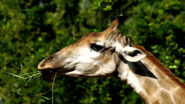 Close-up head of Giraffe Eating Leaves video