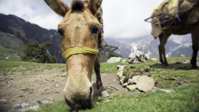 close-up kopf maultier essen frische gräser in bergen - himachal pradesh stock-videos und b-roll-filmmaterial
