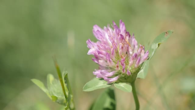 Close-up Herbaceous specie red clover plant in the field 4K