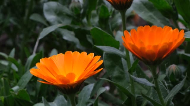 Close-up image of orange daisies and petals