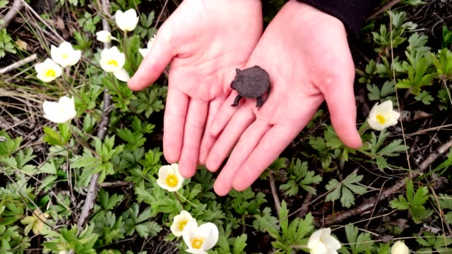 close-up, in kid hands, a small black marsh turtle lies . against the background of blooming white flowers. spring, young turtles are born close-up, in kid hands, a small black marsh turtle lies . against the background of blooming white flowers. spring, young turtles are born. reptile stock videos & royalty-free footage