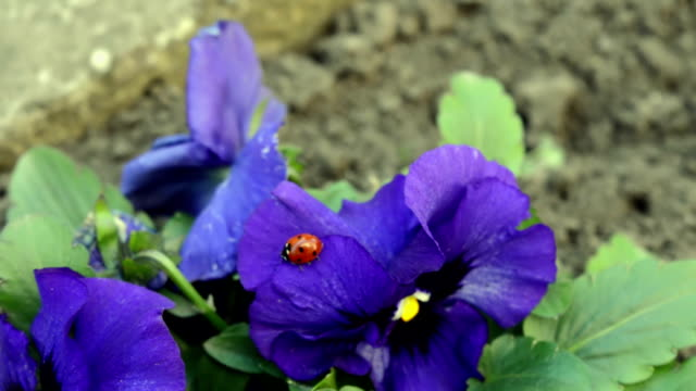 Close-up Ladybug Walks on the Viola Tricolor Flower with Green Foliage video