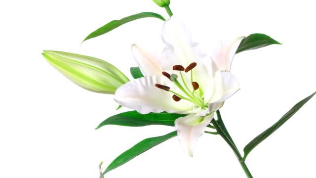 zbliżenie kwiat lilia kwiat rośnie time-upływ na białym tle - lilia filmów i materiałów b-roll