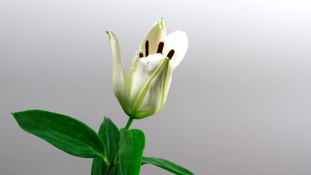 Closeup lily flower blossom growing time-lapse on gray background video