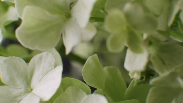 nahaufnahme-makro von hortenen blättenal - hortensie stock-videos und b-roll-filmmaterial