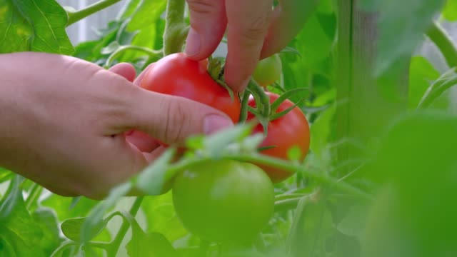 Close-up male hands of a farmer ripping a ripe tomatos from a bush in greenhouse. 4k uhd. Agriculture concept. Close-up male hands of a farmer ripping a ripe tomatos from a bush in greenhouse. 4k uhd. Agriculture concept. branch plant part stock videos & royalty-free footage
