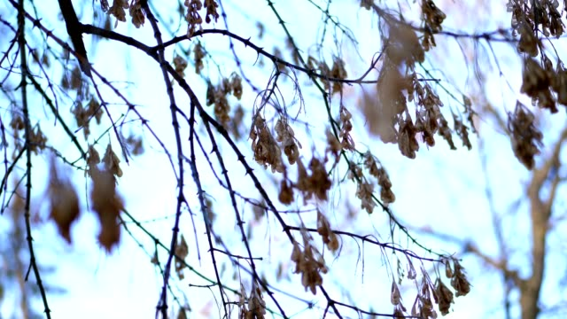 close-up, maple branches, without leaves, bare branches. dry seeds hanging from the branch of a tree without leaves, winter frosty day - ноябрь стоковые видео и кадры b-roll