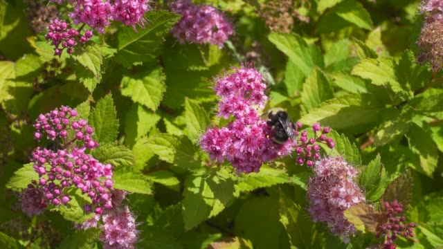 Closeup movie of bumble bees pollinating Spirea plant with blooming pink flowers 4k UHD
