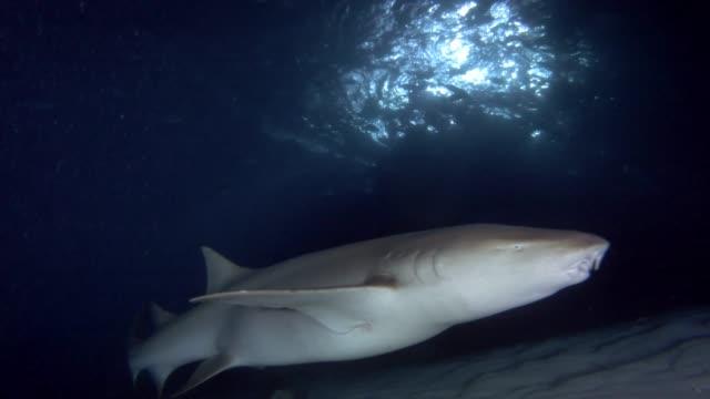 nahaufnahme, krankenschwester hai mit angelhaken langsam schwimmen über sandigen boden in der nacht. tawny ammenhai, nebrius ferrugineus, indischer ozean, malediven - angelhaken stock-videos und b-roll-filmmaterial