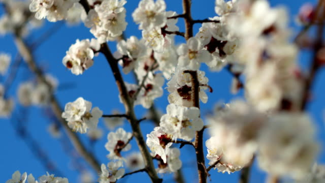 a closeup of a beautiful branch of apricot or sakura blossoming in a spring in the garden, a flower pollinated by a bumblebee. - stame video stock e b–roll