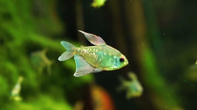 güzel bir elmas tetra yakın çekim, gümüş ışıltılı süs balığı, venezuela valencia gölütropikal hayvan specie - i̇htiyoloji stok videoları ve detay görüntü çekimi