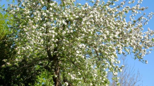 Closeup of a beautiful flowering apple tree on windy day in spring