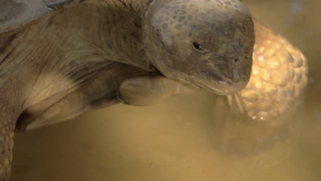 A closeup of a big turtles head A closeup of a big turtles head. The turtle is standing in a clean water and slowly moving its head back and forward tortoise shell stock videos & royalty-free footage