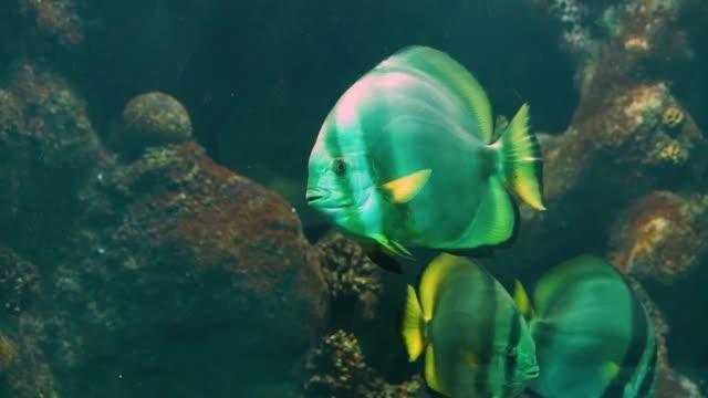 siyah çizgiler ve sarı yüzgeçler, su içinde büyük akvaryum pet yüzme, tropikal balık specie ile büyük bir beyaz melek çekim - i̇htiyoloji stok videoları ve detay görüntü çekimi