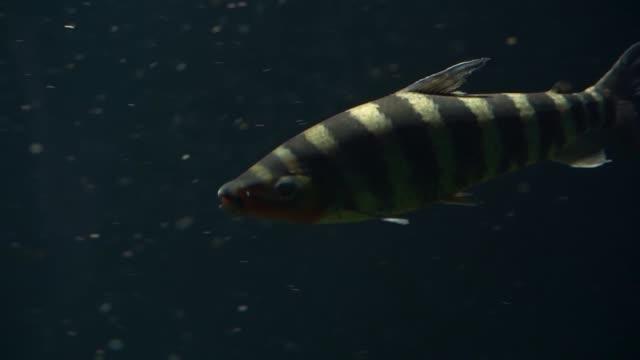nahaufnahme eines schwarz gebänderten leporinus, der unter wasser schwimmt, tropische süßwasserfisch-spezie aus dem amazonasbecken amerikas - ichthyologie stock-videos und b-roll-filmmaterial