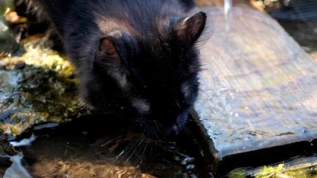Close-up of a black cat, which is drinking water from a source Close-up of a black cat, which is drinking water from a source. thirsty stock videos & royalty-free footage