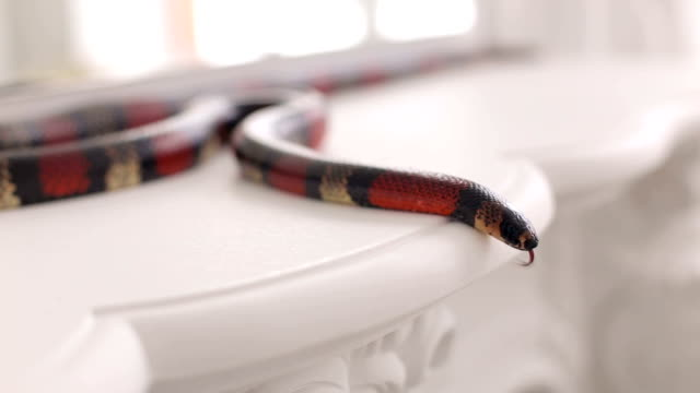 Close-up of a black-and-red snake lies on a table. video