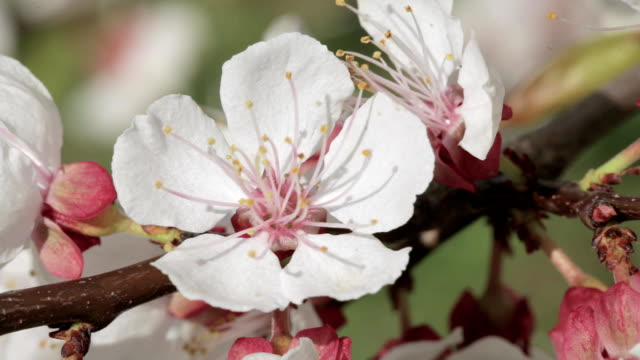 close-up of a blooming apricot - albicocco video stock e b–roll