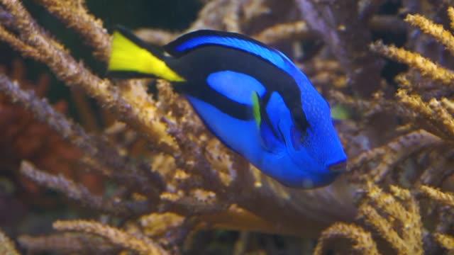 närbild av en blå tang surgeonfish, populära tropiska akvarium husdjur, exotiska fiskar specie från stilla havet - iktyologi bildbanksvideor och videomaterial från bakom kulisserna