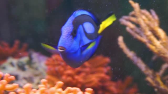 närbild av en blå tang surgeonfish simma i vattnet, populära tropiska akvarium husdjur, exotiska fiskar specie från stilla havet - iktyologi bildbanksvideor och videomaterial från bakom kulisserna