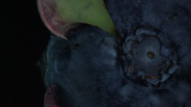 Closeup of a blueberry bursting with nutritious juice video