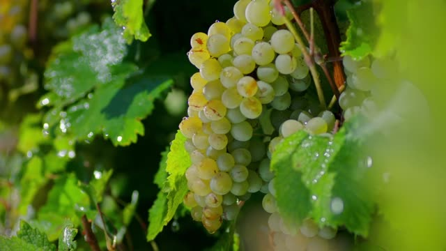 Close-up of a branch of ripe grapes under raindrops. Heavy rain on vineyard. Irrigation of grape tree . Beautiful stock footage for wine commercial . Shot on ARRI ALEXA Cinema Camera in slow motion .