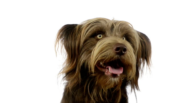 Close-up of a Crossbreed dog looking around video