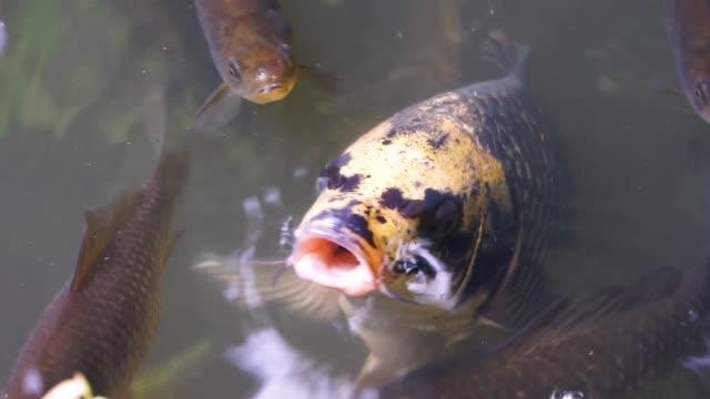 stockvideo's en b-roll-footage met close-up van een europese karper zwemmen met zijn mond boven water, grappig visgedrag, kwetsbare dieren specie - carp