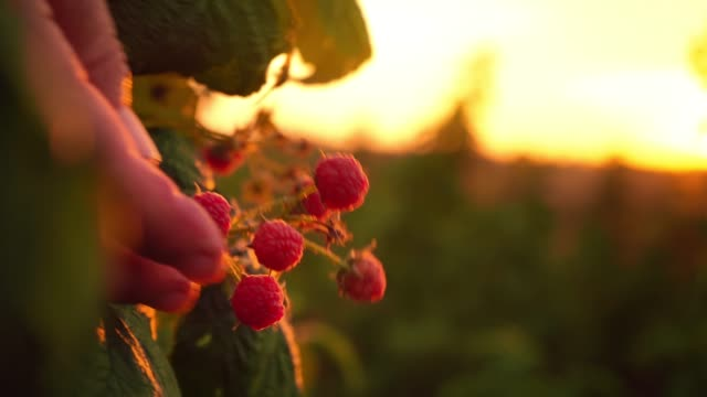 vídeos de stock e filmes b-roll de close-up of a female hand that gently snaps off a ripe raspberries from a bush on a sunset background, harvesting raspberries on a plantation, a raspberry picker - picking fruit
